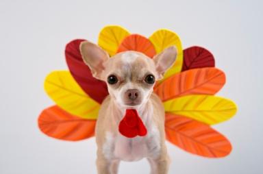 chihuahua-turkey